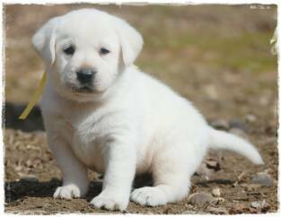 White  Puppies on White Lab Puppies   White Lab Breeder In Mauckport In   Dixie Run